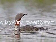Red Throated Diver Scuppers London Array Expansion
